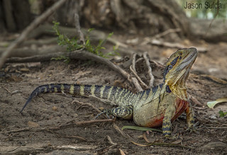 Eastern Water Dragon (Intellagama lesueurii) Forest Lake Brisbane Queensland Australia.