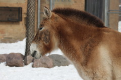 IMG_4072 (clare_and_ben) Tags: illinois brookfieldzoo 2018 brookfield zoo chicagozoologicalsociety animal horse przewalskishorse
