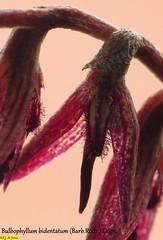 Bulbophyllum bidentatum (F.J.De Jesus) Tags: bulbophyllum bidentatum bulbophyllumbidentatum bulbophyllinae microorquídea micro orquídea didactyle bidentata