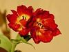 Tulpen (ingrid eulenfan) Tags: blume flower tulpe tulip