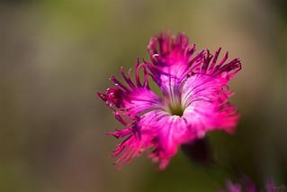 ナデシコ Dianthus