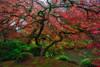 The Glorious Maple - 5914 (J & W Photography) Tags: 2017 autumn fall fallcolor jwphotography japanesegarden japanesemaple oregon pacificnorthwest portland arboretum botanicgarden creek landscape northwest