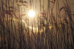 MS Rieselfelder 12022018 39 (Dirk Buse) Tags: münster nordrheinwestfalen deutschland deu rieselfelder germany de gegenlicht gras natur nature outdoor grell licht kontrast perspektive sonne mft m43