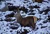 Red Deer (steve_whitmarsh) Tags: winter aberdeenshire scotland scottishhighlands snow ice lochmuick animal deer nature wildlife reddeer