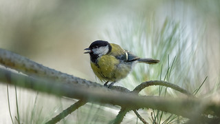 Great tit of the day (2/2)