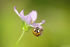 Delicate Nature (Vie Lipowski) Tags: ladybug ladybeetle ladybird cosmos insect beetle bug flower plant wildlife nature macro