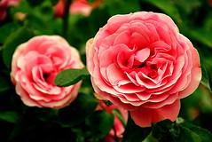 (Roi.C) Tags: rose roses flowers flower outdoor season garden green macro hdr nikkor nikon nikond5300 nature bright pink red spring bouquet