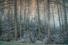 winters.freestyle (_andrea-) Tags: sternenberg tösstal switzerland tannenwald winter frosty lärchen sonya7m2 samyang softtones 1820mm wonderfultime flickrdiamond