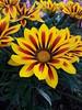 #photography #fotografie  #blume #flower #frühling #frühlingsblume #gelb #pflanze (mystic_angel84) Tags: gelb fotografie frühlingsblume flower frühling photography pflanze blume