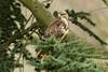 Common Buzzard  - Buteo buteo (Roger Wasley) Tags: common buzzard buteobuteo wild bird gloucestershire