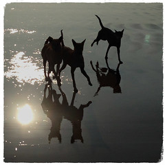 (ben oït) Tags: puri odisha orissa dogs chiens ombres shadow reflet reflection