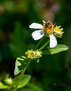 Honey Bee On Flower Macro