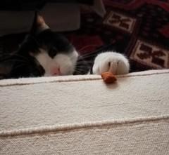 215/365 Got it! (cheesemoopsie) Tags: neko cat calicocat treat catisfactions