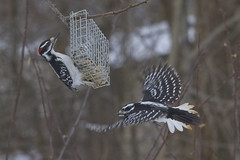 The Hairy Couple (brucetopher) Tags: hairy woodpecker male female flight flying fly flap wings speckled spotted couple mates mate feeder suet birdfeeder birds bird birding birdwatching watch watching avian newengland newenglandbirds feeding feed eat seeds