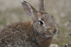 20180106_IMG_6527 (NAMARA EXPRESS) Tags: animal rabbit eye face okuno island cloudy daytime winter outdoor color okunoisland kasahara hiroshima japan canon eos 7d sigma 50mm f14 dg hsm art namaraexp