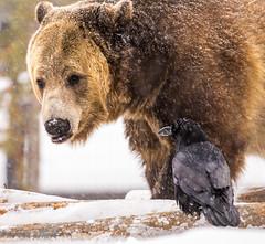 """No Raven... I am not sharing my food"" (maureen.elliott) Tags: grizzlybear raven animals wildlife grizzlyandwolfdiscoverycentre westyellowstone montana"
