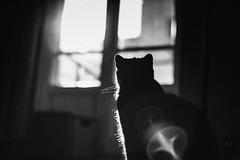 Luna 160.365 (ewitsoe) Tags: cat luna sun window monochrome bnw blackandwhite ewitsoe kittne cats feline animal pet winter warsaw canon eos 6dii 50mm street city cityscape urban hme home 365 160