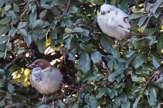 'Leucistic' Sparrow (1)