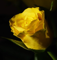 DSC_8827 (PeaTJay) Tags: nikond750 sigma reading lowerearley berkshire macro micro closeups gardens indoors nature flora fauna plants flowers bouquet rose roses rosebuds