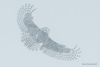 Foggy day - Snowy Owl