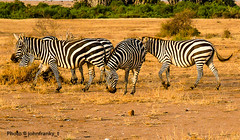 Safari-Tsavo National Park-Kenya (9) (johnfranky_t) Tags: johnfranky t zebre pascolo cespugli alberi giallo erba secca savana tsavo national park kenya kenia africa zebras grass dry animal land