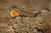 DEWLAP DISPLAY (Sandy Hill :-)) Tags: anoles lizards lavarock iguana brownlizards brownanoles carnivore nature sandyhillphotography