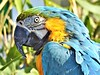 Blue and gold Macaw (Bob Silver :o)) Tags: macaw parrot