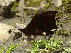 Apexacuta astoreth (LPJC) Tags: manuroad butterfly manu 2016 peru lpjc leptophobiaaripa apexacutaastoreth