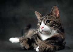 'The Thinker' (Jonathan Casey) Tags: cat studio portrait tabby nikon d810 50mm f14 sigma art
