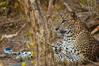 World Wildlife Day 2018 - Big Cats: predators under threat.. (Explored)