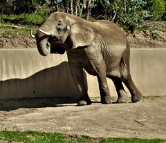 OAKLAND ZOO (kelsey61 (OFF AND ON FOR A WHILE)) Tags: elephant zooanimal zoo oaklandzoo knowland park alifornia wall california