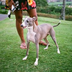 000268100001 (muffe3) Tags: fuji superia 200 38mm sonnar zeiss carl contax t2 film analog hawaii italiangreyhound kermit cermet