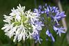 White & Blue... (Eddy Summers) Tags: nsw australia bluemountains pentaxk1 dfa100mm28 agapanthus flowers petal topaz