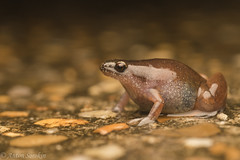 Little Brown Frog (antonsrkn) Tags: chiasmocleis hudsoni amazon colombia wild wildlife rainy rain wet microhylid microhylidae amphibian herpetology biology macro small frog nature jungle fossorial southamerica tropics tropical road
