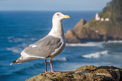 Picture Me (Tom Fenske Photography) Tags: seagull bird gull wild ocean oregon coast lighthouse hecetahead