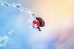 Frozen (Pásztor András) Tags: rosehips frozen snow winter cold blue yellow sunrise sun light sigma 105 nature dslr nikon d5100 hungary andras pasztor photography 2017