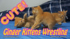 Cute Ginger Kittens Playing & Wrestling (youtube.com/utahactor) Tags: kittens cats ginger gato gata chat chatons pets animals fun cute cutenessoverload friendsofzeusandphoebe gingerkittiesfour youtube 4k video sony camcorder tabby tabbies furbaby furbabies playing wrestling running jumping whiskers fur pinknose blog website follow watch