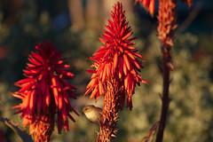 Chiffchaff_Flower_2 (hawaza) Tags: bird birds flower chiffchaff sunset riaformosa algarve portugal