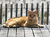 Boardwalk Cat (Multielvi) Tags: cat feline tabby orange atlantic city new jersey boardwalk