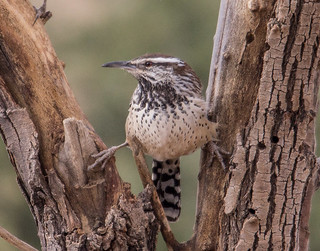 I am the Arizona state bird.  They call me Cactus Wren.