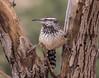 I am the Arizona state bird.  They call me Cactus Wren. (cindyslater) Tags: bird goldenvalleyaz cactuswren arizona arizonastatebird tree cindyslater animal