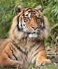 sumatran tiger Emas Blijdorp BB2A0494 (j.a.kok) Tags: tijger tiger sumatraansetijger sumatrantiger pantheratigrissumatrae kat cat mammal zoogdier dier animal blijdorp asia azie predator emas