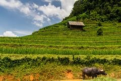 Výlet na motorce do Hoang Su Phi (zcesty) Tags: zvířata vietnam22 terasa rýže pole krajina dům buvol vietnam dosvěta hàgiang vn