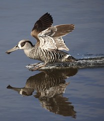 Pink-eared Duck (Thea T Photography) Tags: lake wetlands birdlife australia pinkear duck reflection