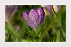 Crocus (hall1705) Tags: crocus dew latewinter earlyspring closeup macro purple grass highdowngardens nature nikon1j5 flower plant bulb