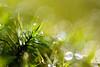 Precious II (Ir3nicus) Tags: 105mm28vr ausen bokeh geringeschärfentiefe makro moos nahaufnahme natur pflanze tropfen wasser wassertropfen kevelaer nordrheinwestfalen deutschland de afsvrmicronikkor105mm128gifed nikon d700 dslr fullframe fx outdoor shallowdepthoffield macro moss closeup nature plant drop waterdrop water
