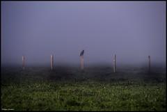 Thorigné sur Dué (Sarthe) (gondardphilippe) Tags: thorignésurdué sarthe maine paysdelaloire nature brume brouillard oiseau birds champ field