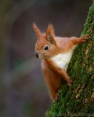 Red Sqirrel 7499(6D3) 8x10 (wildlifetog) Tags: red southeast squirrel alverstone isleofwight uk mbiow martin blackmore britishisles britain british wild wildlifeeurope wildlife nature canon england european eos6d