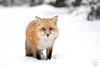 Missing You (Megan Lorenz) Tags: redfox fox animal mammal snow snowing winter nature wild wildlife wildanimals algonquinprovincialpark ontario canada mlorenz meganlorenz
