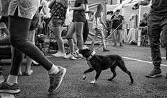 In Step (Anne Worner) Tags: anneworner street streetphogography lowvantagepoint blackandwhite bw candid walking shoeslegs canine collar leash ricohgr